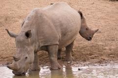 11 Rinoceronti014