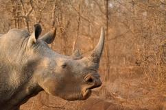 11 Rinoceronti042