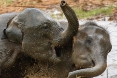 Sri Lanka - due giovani elefanti indiani giocano nel fango sollevando spruzzi e rompendo il silenzio della giungla